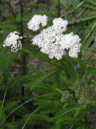 White flowers achillea millefolium mightylinksfo