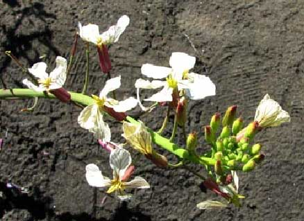Cardamine-occidentalis-2