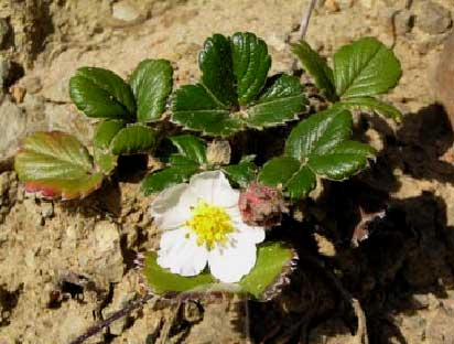 Fragaria-chiloensis-1