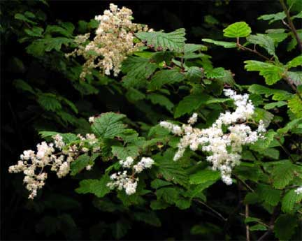 Holodiscus-discolor-1