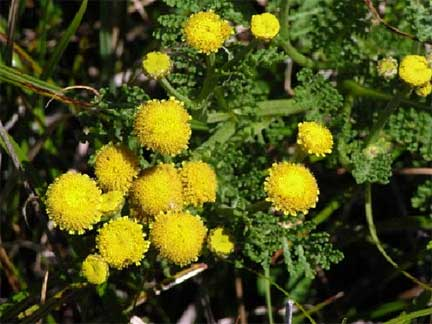 Yellow flowers tanacetum camphoratum mightylinksfo