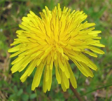 Yellow flowers taraxacum officinale mightylinksfo