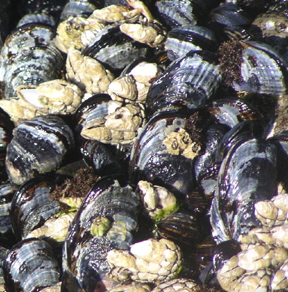 a_Mussels