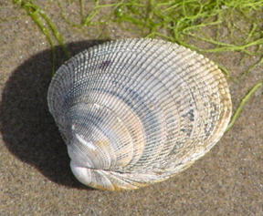 a_Pacific-Little-Neck-Clam