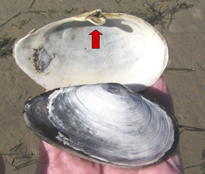 a_Softshell-Clam